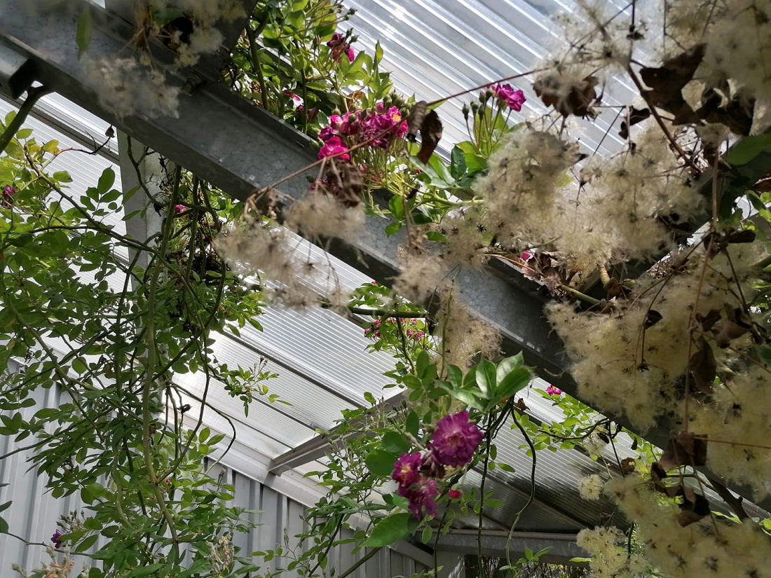 Veilchenblau Rambler blüht!